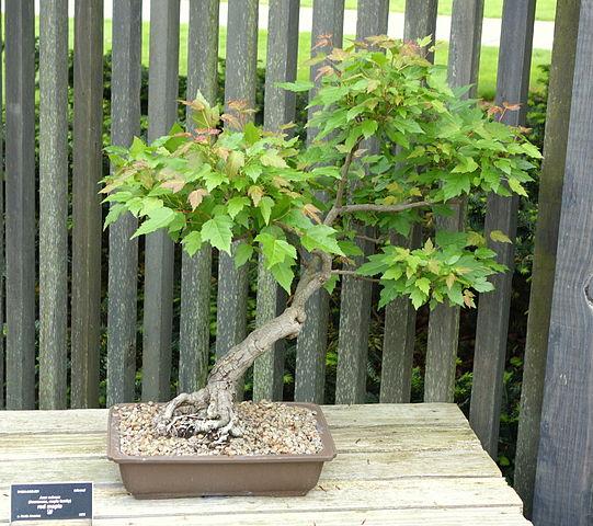 File acer rubrum bonsai dawes arboretum dsc02994 jpg - Arce rubrum bonsai ...