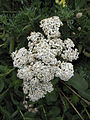 Achillea millefolium (6062696368).jpg