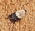 Acleris variegana (43058566850).jpg