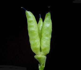 Aconitum napellus7 ies.jpg