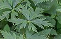 Aconitum napellus at Lac des Plagnes (3).jpg