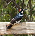 Acorn woodpecker, Arizona, 2013.jpg
