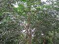 Adenanthera Pavonina - മഞ്ചാടി 01.JPG