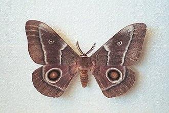 Gonimbrasia belina - adult male (note feathered antennae)