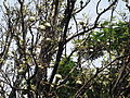 Aegle marmelos-2-foot hill-yercaud-salem-India.JPG