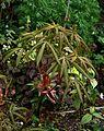 Aesculus pavia Atrosanguinea - Flickr - peganum.jpg