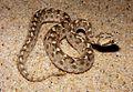 Afázsiai kígyó.jpg