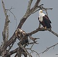 African Fish Eagle (juvenile and adult) (6608149711).jpg