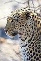 African Leopard Left 2019-07-28.jpg