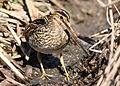 African Snipe, Gallinago nigripennis at Marievale Nature Reserve, Gauteng,South Africa (20898224023).jpg