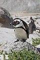 African penguin at Boulders Beach 01.jpg