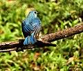 After bath Verditer Flycatcher scientific name Eumyias thalassina at Sattal DSCN1194 1.jpg