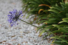 Agapanthus Flower and Leaves.JPG