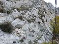 Agave victoriae-reginae (5661426569).jpg