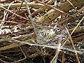 Agelena labyrinthica IMG 3640.jpg