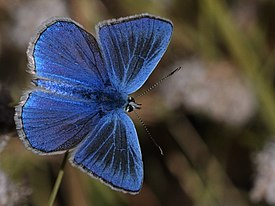 Agrodiaetus actis - Anatolian Navy Blue butterfly 02.jpg