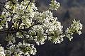 Ahlat - Pyrus elaeagrifolia 03.jpg