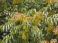 Ailanthus altissima. Ailantu.jpg