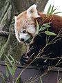 Ailurus fulgens -Paradise Wildlife Park, Hertfordshire, England-8a (1).jpg