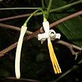 Alangium platanifolium var. trilobatum (bud and flower).jpg