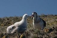 Os albatrozes criam os filhotes até que estes tenham porte suficiente para se defenderem e termorregularem a si mesmos (aqui, um albatroz-de-amsterdão com uma cria).