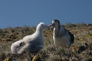 Plateau des Tourbières - Amsterdam albatross feeding its chick