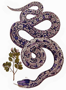 African rock python wikipedia an 18th century illustration ccuart Images