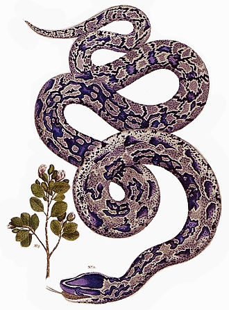 African rock python - An 18th-century illustration