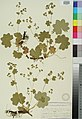 Alchemilla monticola herbarium (06).jpg