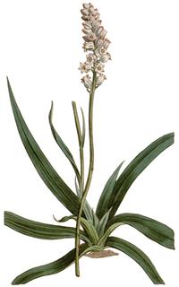 A. farinosa, mjöllilja