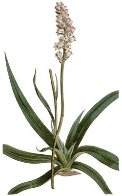 Aletris farinosa CBM-34.png