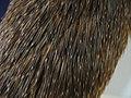 Algunos pelos del dorso de Mesomys (Echimyidae) transformados en espinas.jpg