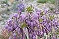 Allium carinatum Nanum-ML 0701alpine (9).jpg