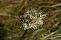 Allium ericetorum n4.JPG