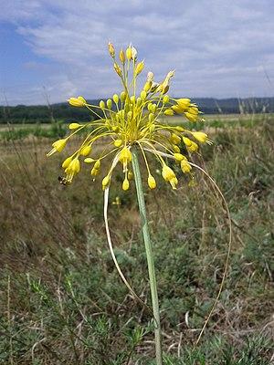 Allium flavum - Image: Allium flavum sl 2