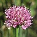 Allium strictum RF.jpg