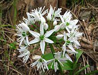 Allium ursinum (Bärlauch) - Blüte.jpg