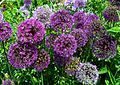 Alliums (9161032427).jpg