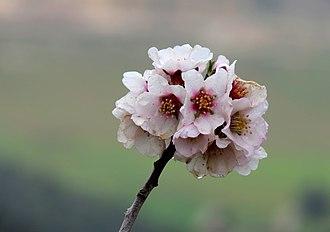 Canon PowerShot SX50 HS - Image: Almond blossoms . Palestine