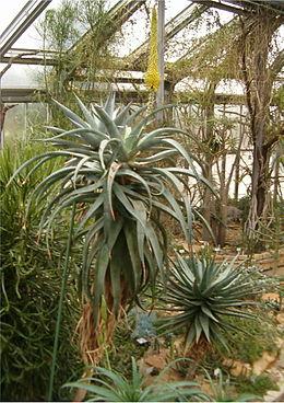 Aloe africana HabitusLeavesInflorescence BotGard1205A
