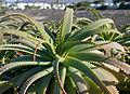Aloe arborescens IMGP0264.jpg