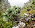 Aloe plicatilis forest - Stellenbosch mountains South Africa 3.jpg