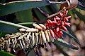 Aloe speciosa 03.jpg