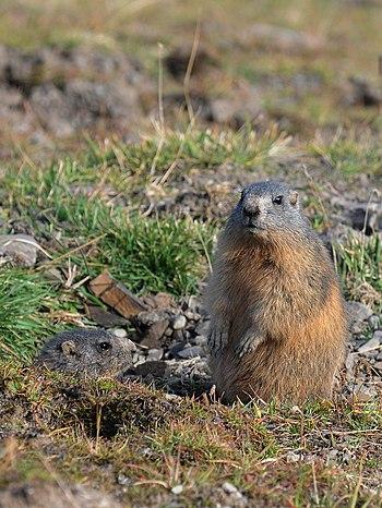 Alpenmurmeltier%2C Marmota marmota 01