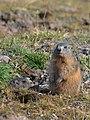 Alpenmurmeltier, Marmota marmota 01.JPG
