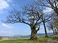 Alte Eiche am Deutes (inzw. abgebrannt) - panoramio.jpg