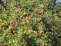 Alter Apfelbaum Herbst.jpg