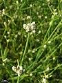 Alternanthera filifolia.jpg