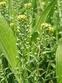 Alyssum alyssoides (Kelch-Steinkraut) 2603 IMG.JPG