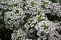 Alyssum white color at lalbagh7321.JPG
